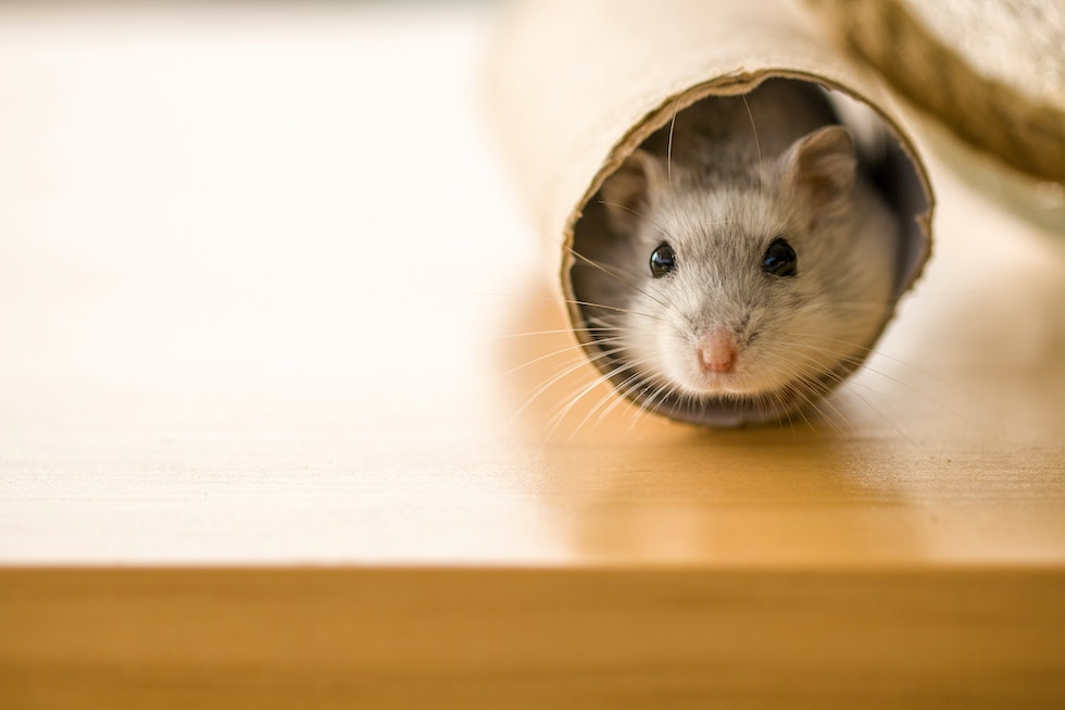 Pet hamster in a toilet paper roll