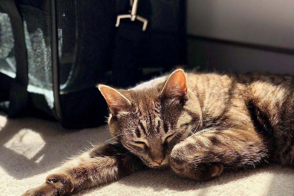 Pet cat sleeping near bag